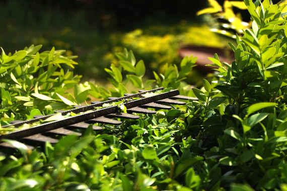 travaux de jardinage , taille haies arbustes et rosiers