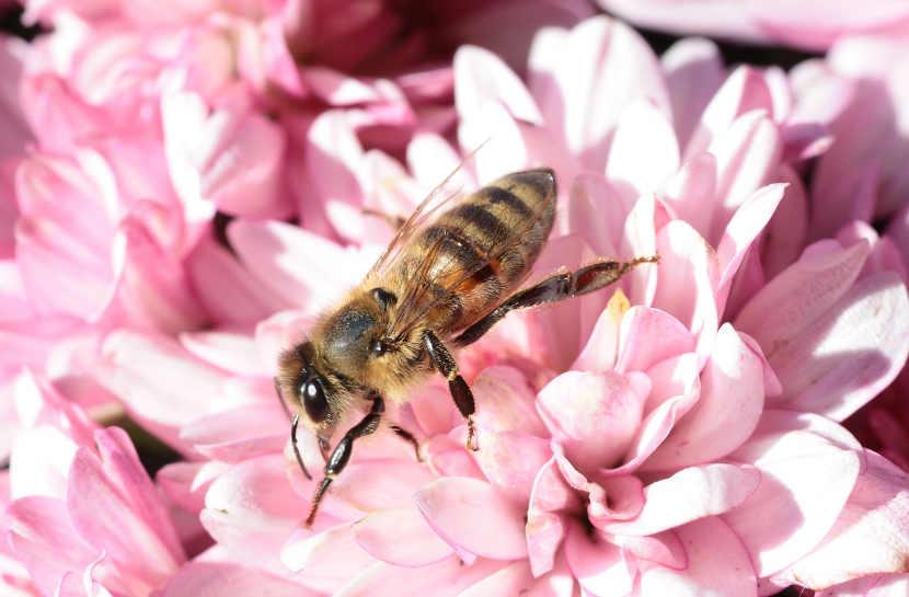 entretien jardin daxx , abeille , fleur
